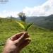 GLKi-Organics rooibos leaf