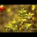 The Many Uses of Rose Hips | Recipe | Video | Veria Living